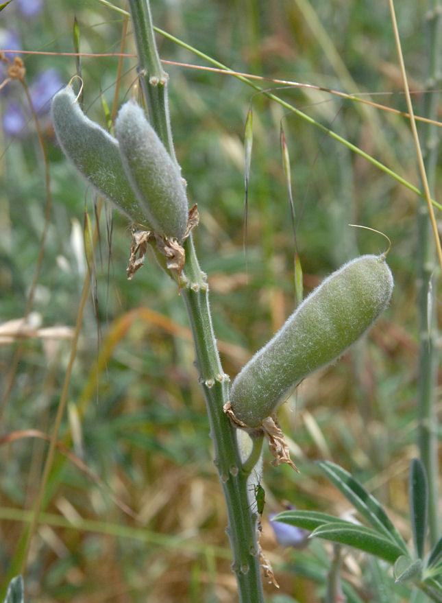 Lupinus formosus var. robustus