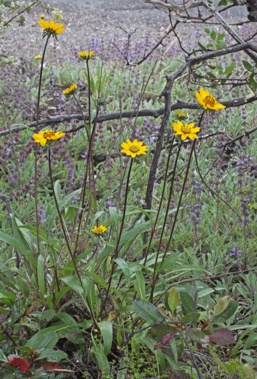 Helianthella californica
