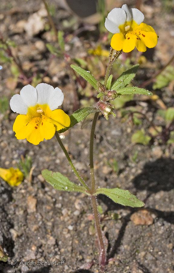 Mimulus bicolor