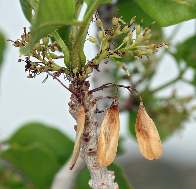 Fraxinus anomala