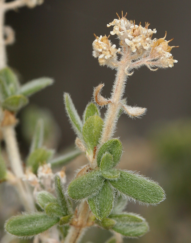Fendlerella utahensis