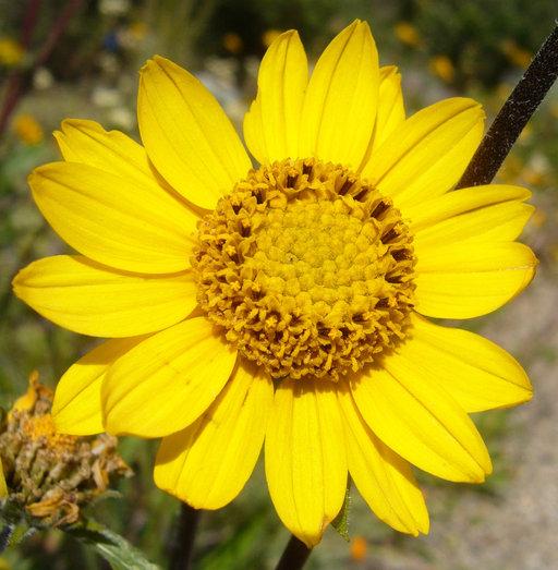 Helianthella californica var. nevadensis