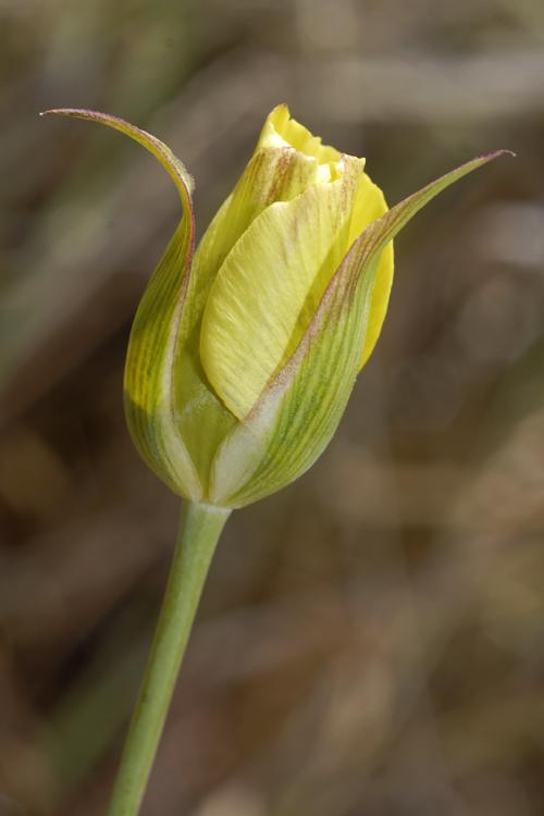 Calochortus luteus