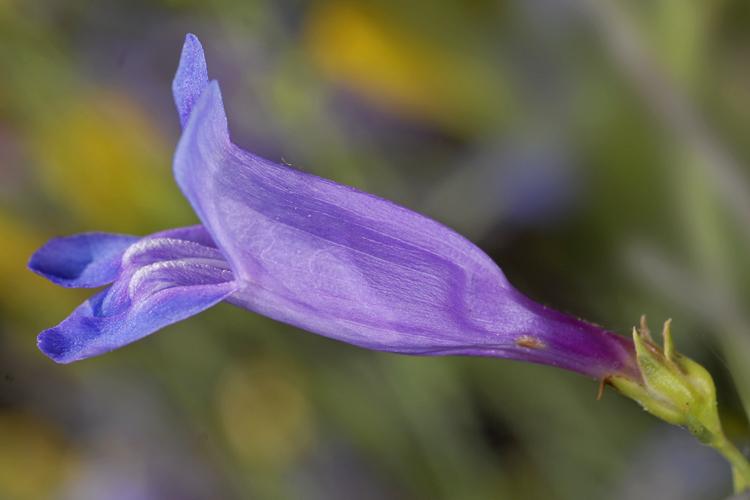 Penstemon heterophyllus