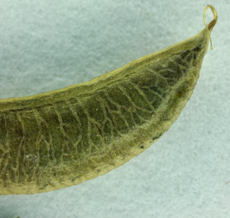 Astragalus nevinii