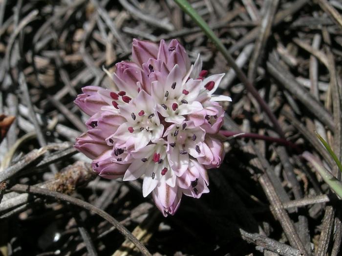 Allium obtusum var. obtusum