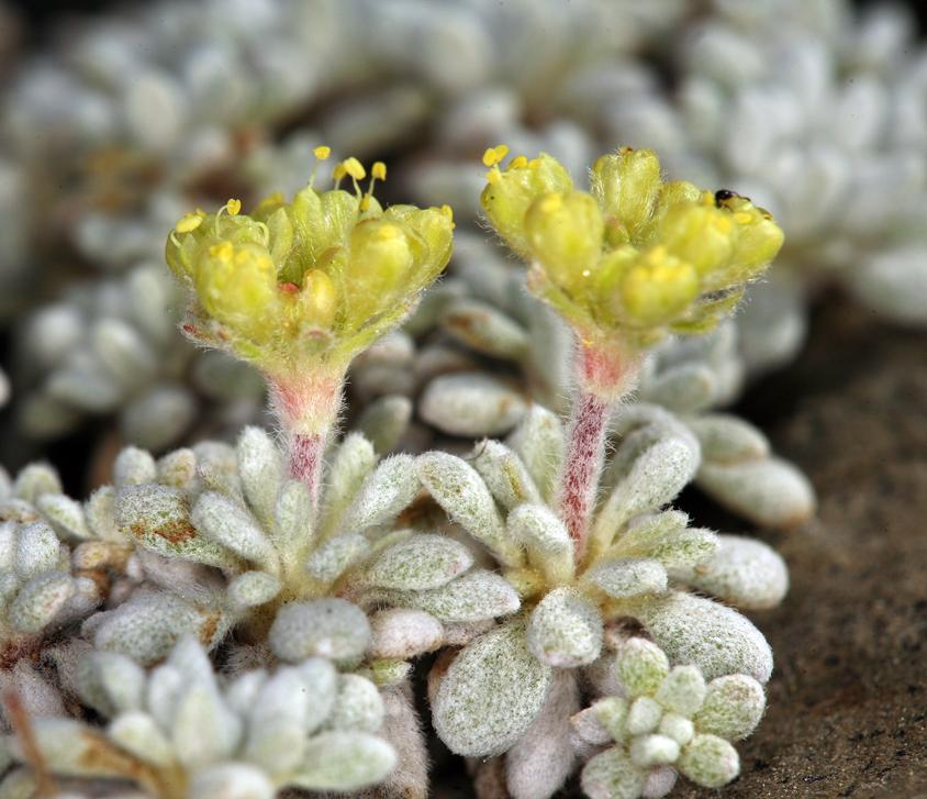 Eriogonum caespitosum