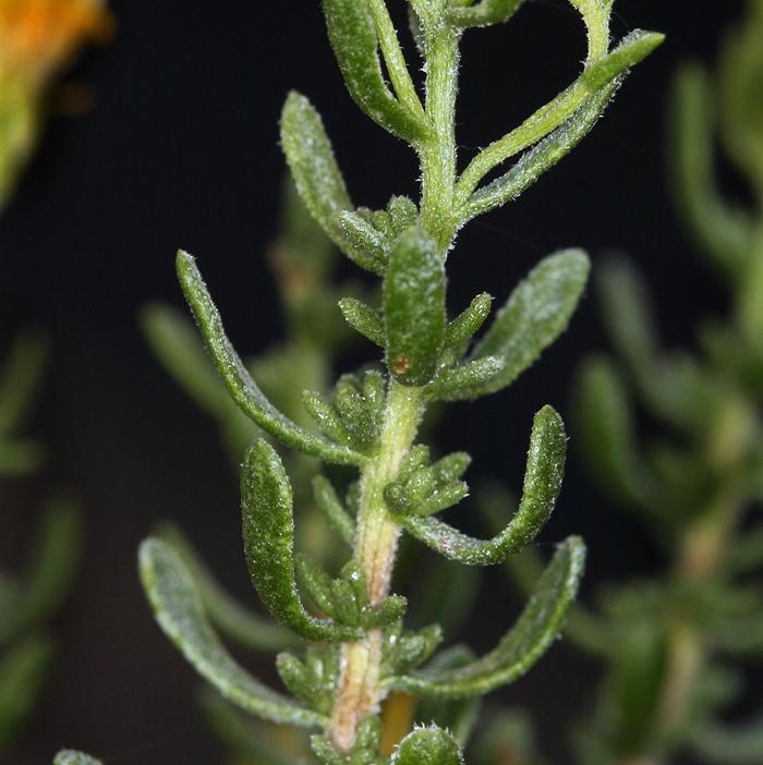 Ericameria cooperi