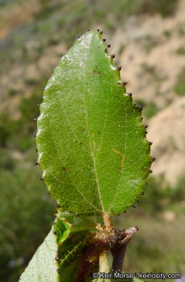 Ceanothus tomentosus