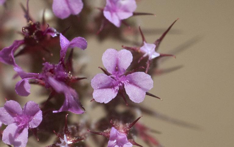 Chorizanthe ventricosa