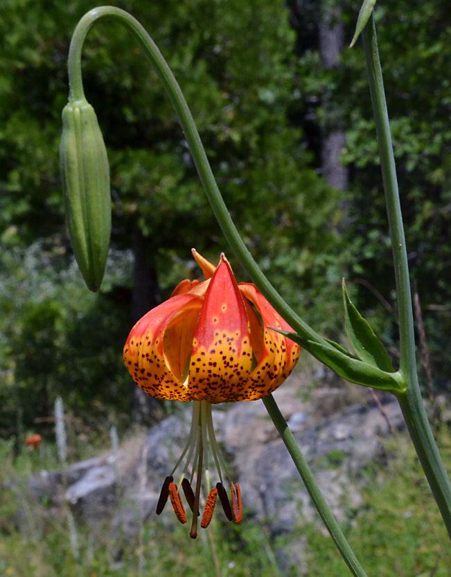 Lilium pardalinum ssp. pardalinum