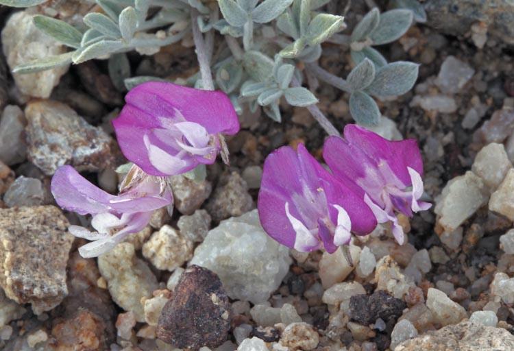 Astragalus calycosus var. calycosus
