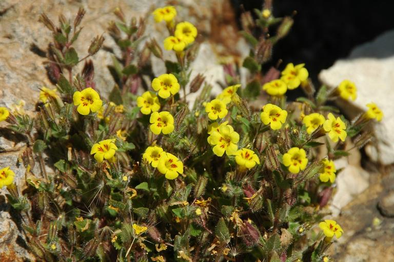 Erythranthe geniculata
