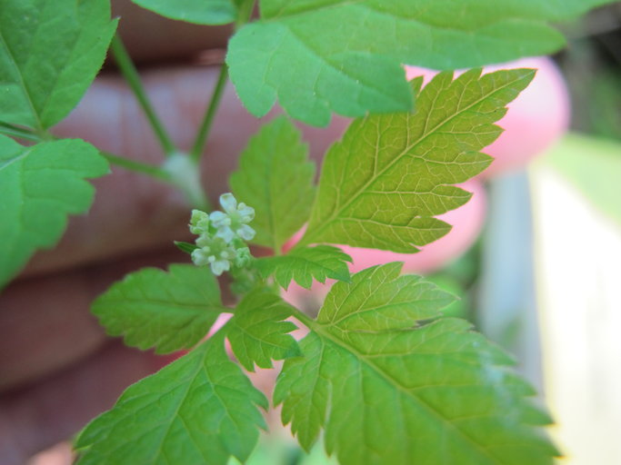 Osmorhiza berteroi