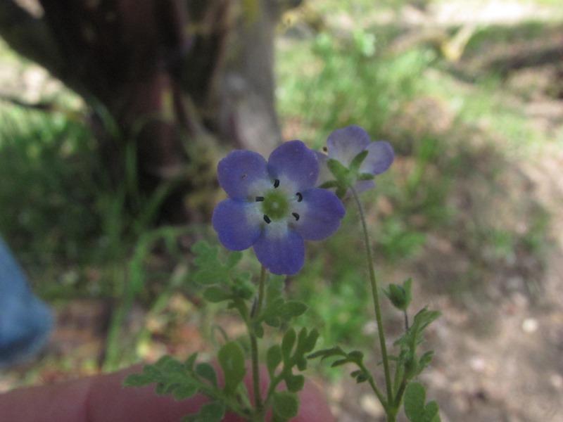 Nemophila pulchella var. pulchella