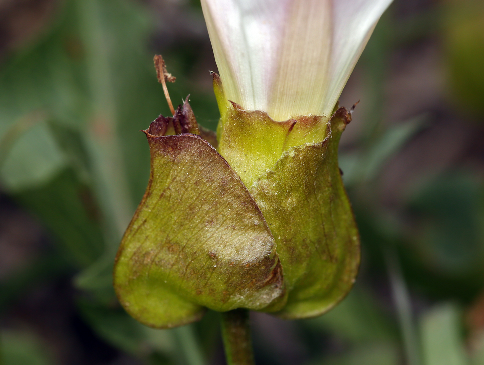 Calystegia macrostegia ssp. macrostegia
