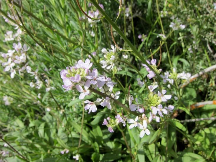 Thelypodium flexuosum