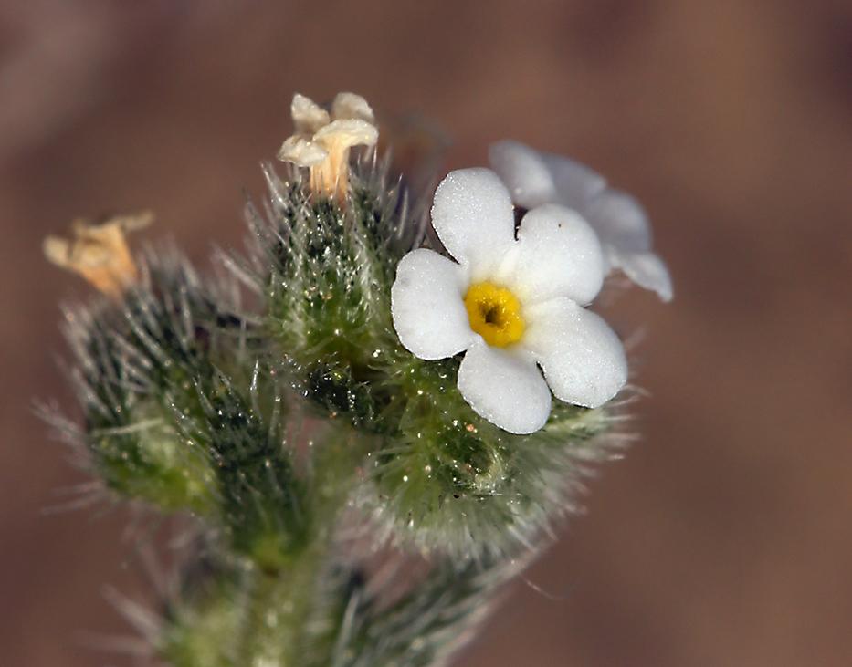 Plagiobothrys collinus var. gracilis