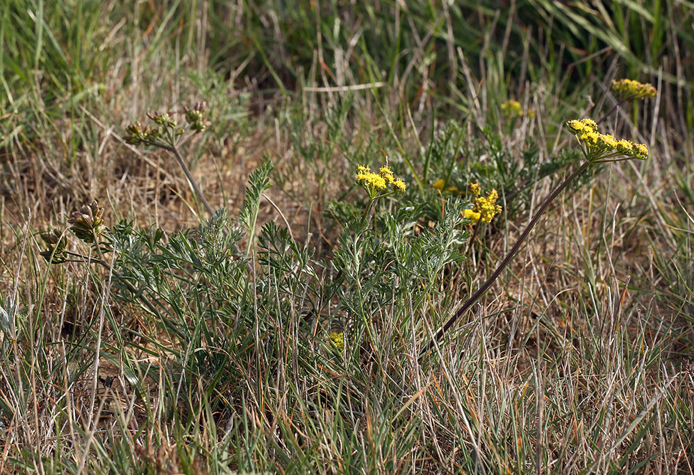 Lomatium caruifolium var. caruifolium