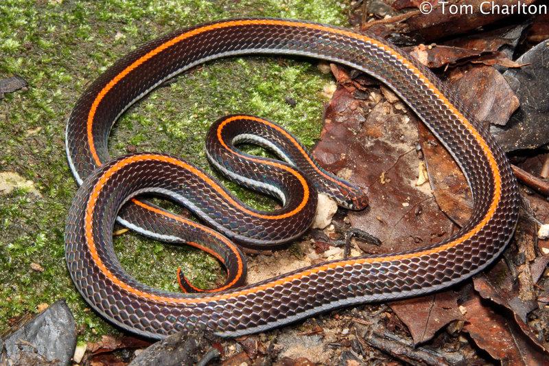 Calliophis Intestinalis Lineata Calliophis Intestinalis