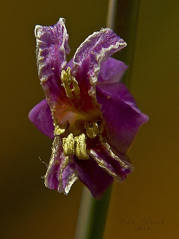 Streptanthus albidus ssp. peramoenus