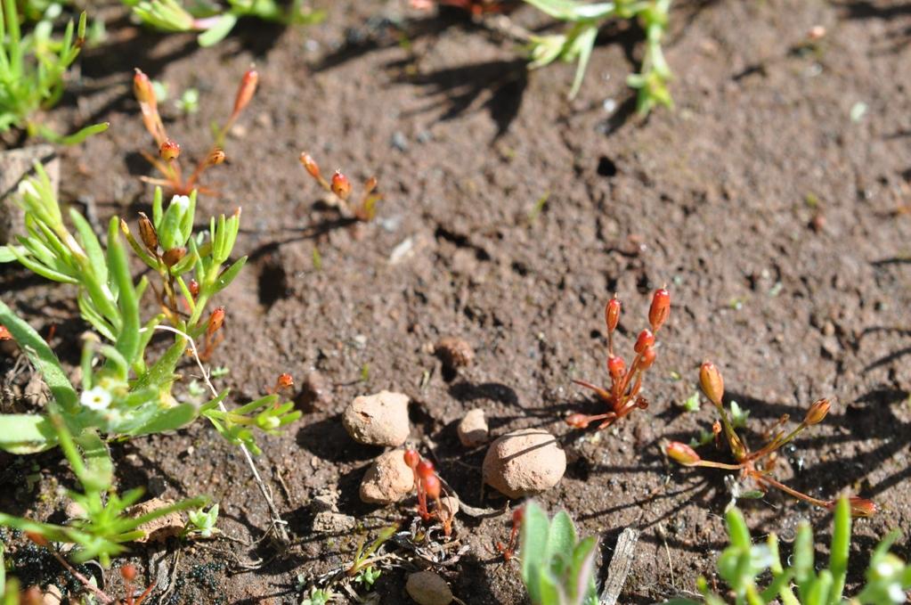 Juncus luciensis