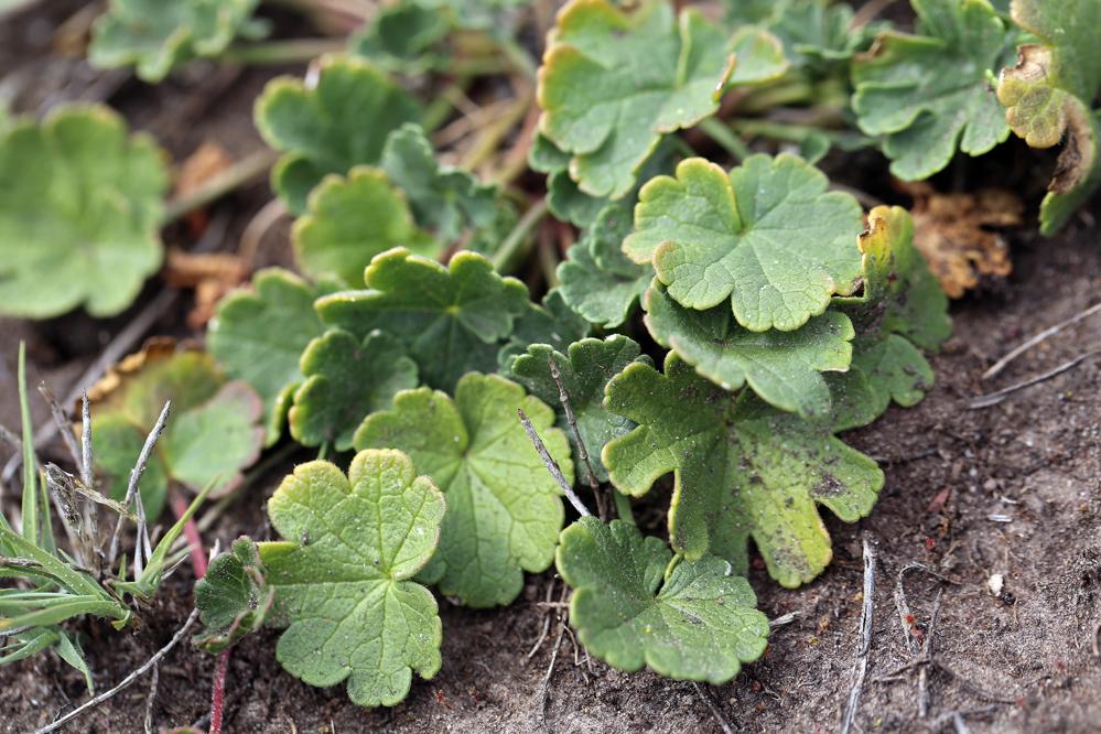Sidalcea malviflora ssp. malviflora