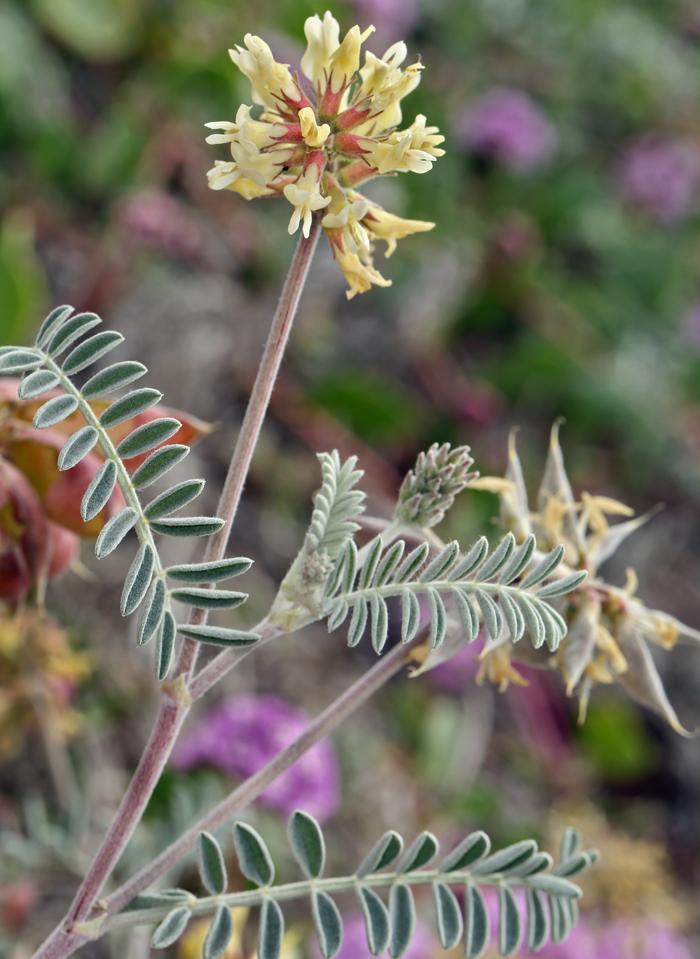 Astragalus miguelensis