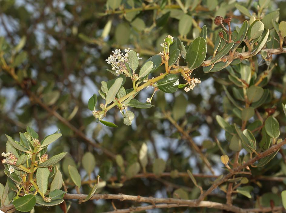 Ceanothus megacarpus var. insularis