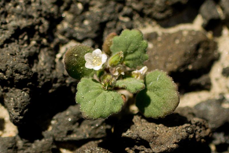 Phacelia rotundifolia
