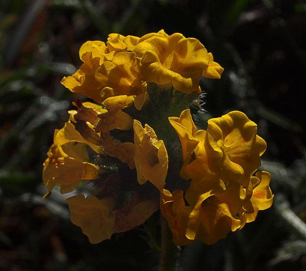 Amsinckia spectabilis var. spectabilis