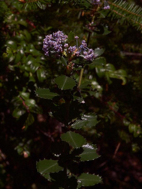 Ceanothus gloriosus var. gloriosus