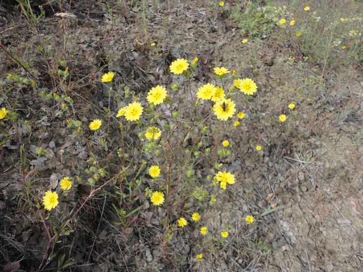 Lagophylla diabolensis