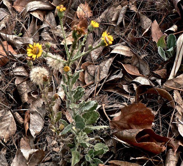 Heterotheca subaxillaris ssp. latifolia