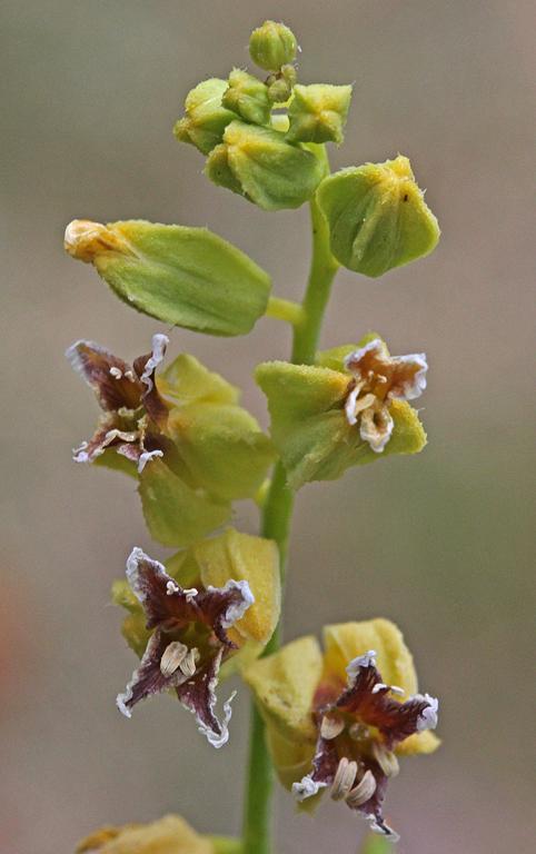 Streptanthus anomalus
