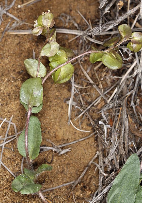 Tricardia watsonii