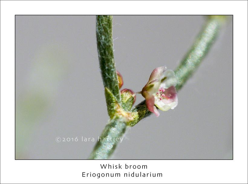 Eriogonum nidularium