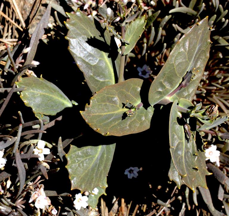 Streptanthus brachiatus ssp. brachiatus
