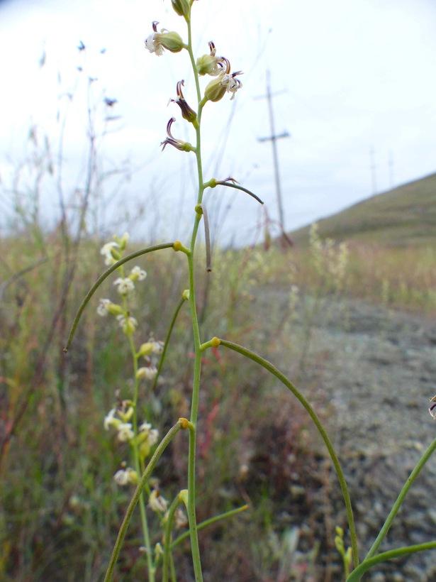 Streptanthus vimineus