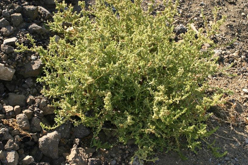 Chenopodium berlandieri var. sinuatum