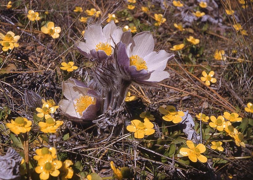 ce72287b6a24 CalPhotos  Anemone patens  Pasque Flower
