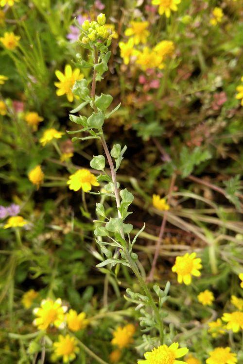 Tropidocarpum californicum