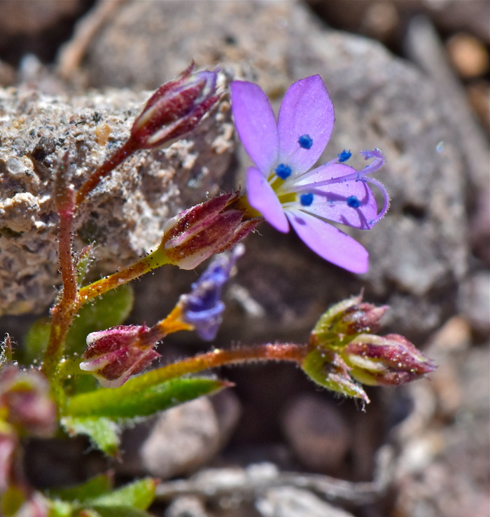 Gilia aliquanta ssp. aliquanta