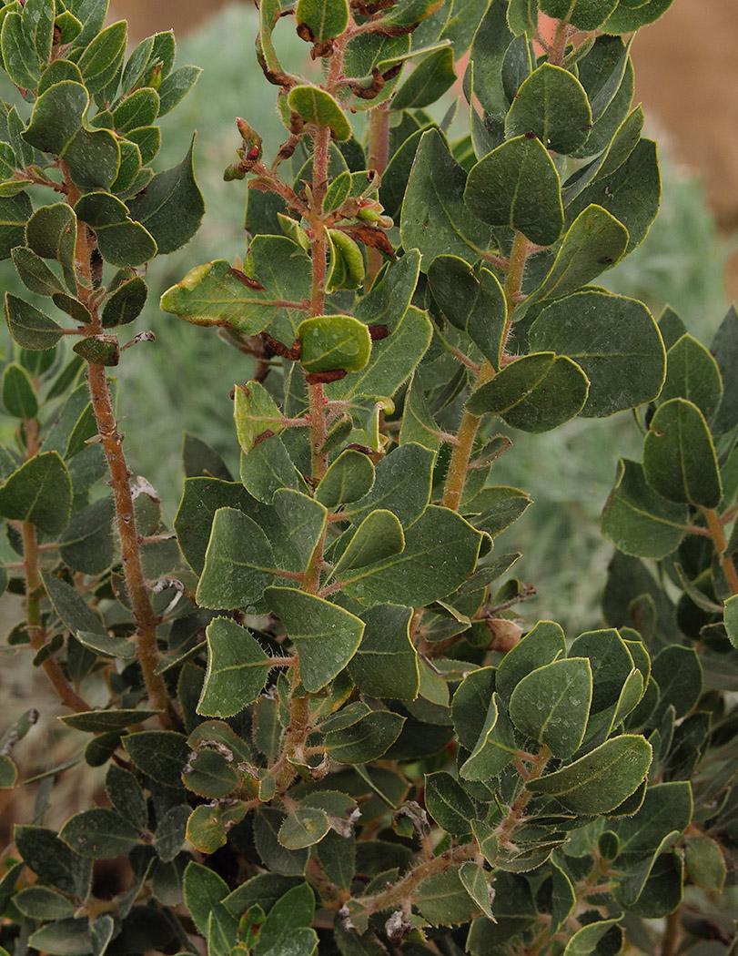 Arctostaphylos catalinae