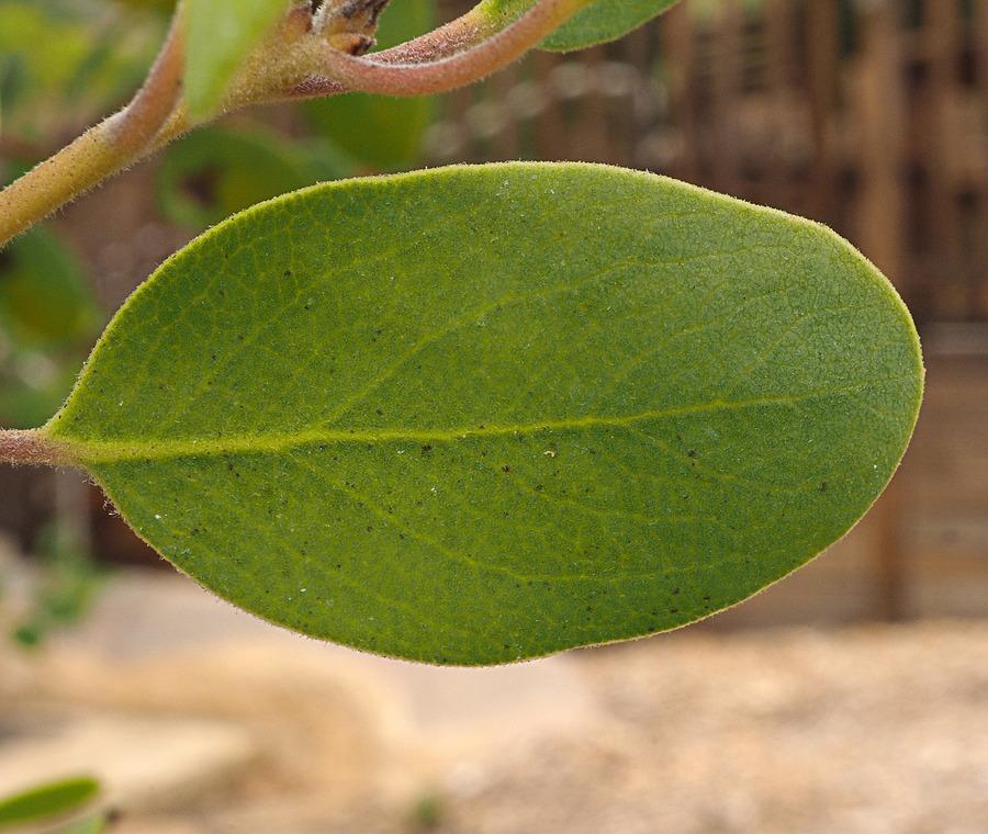 Arctostaphylos otayensis