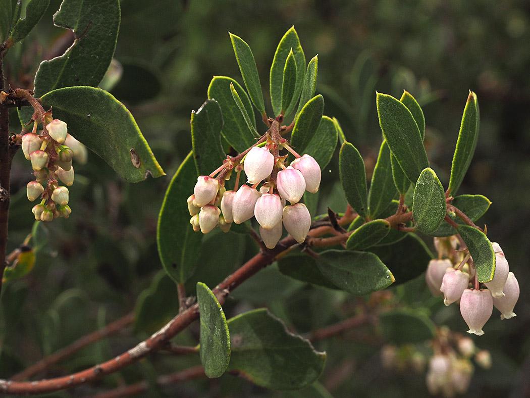 Arctostaphylos stanfordiana ssp. raichei
