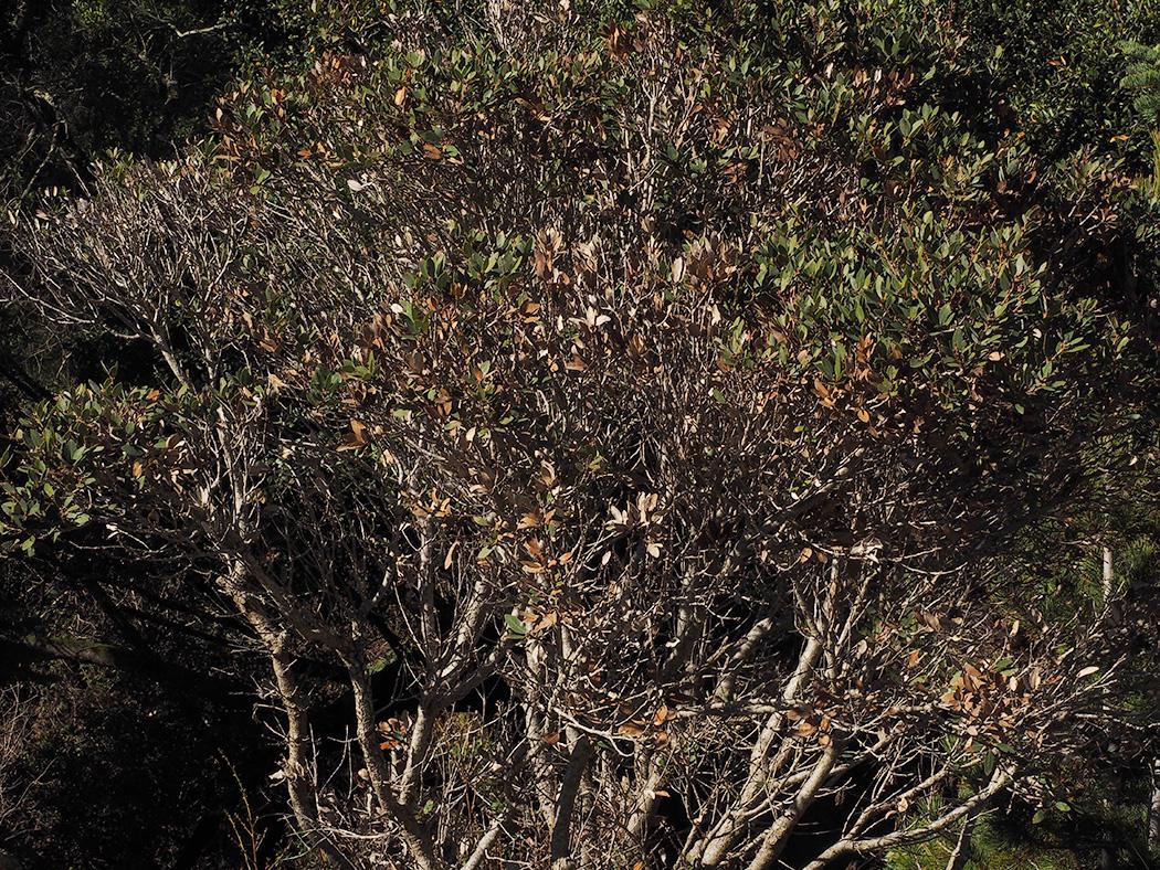 Quercus vacciniifolia