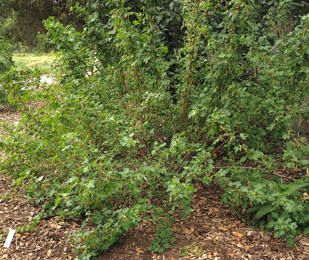 Ribes amarum