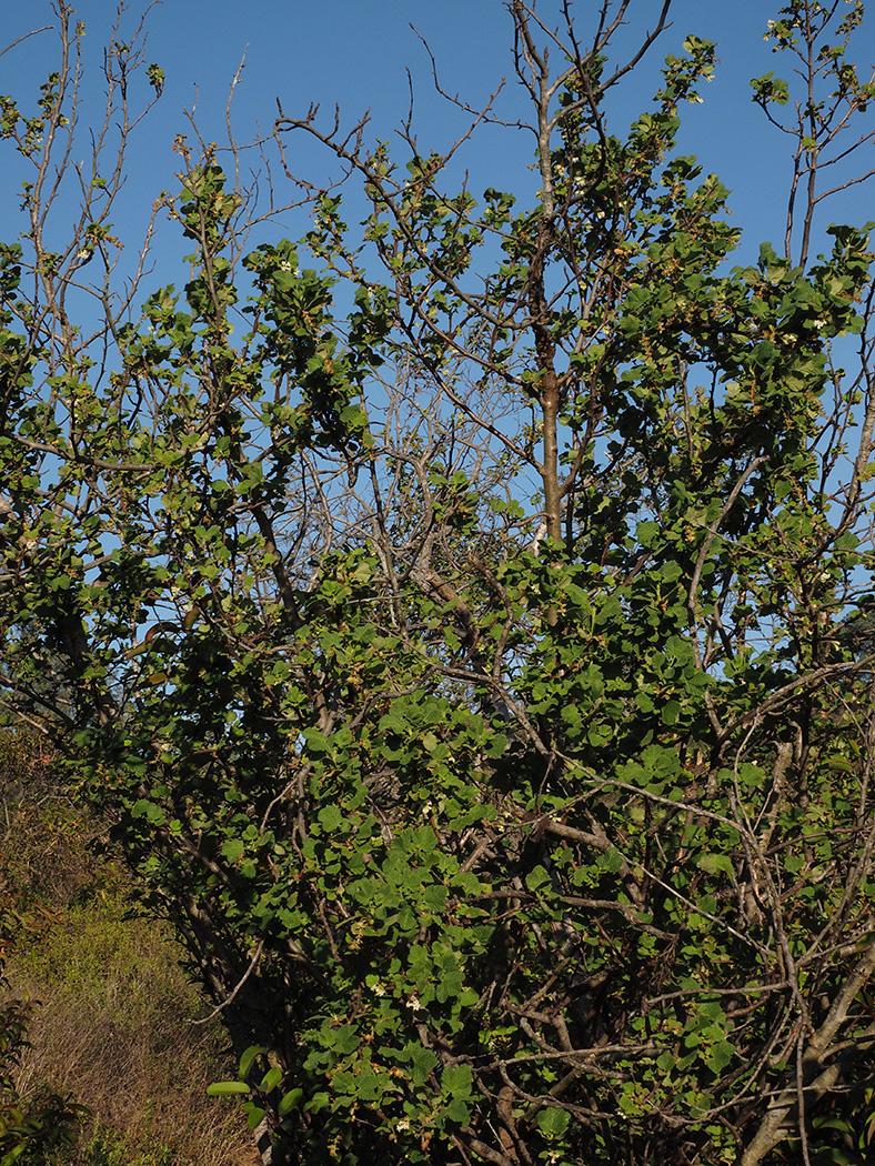 Ribes indecorum