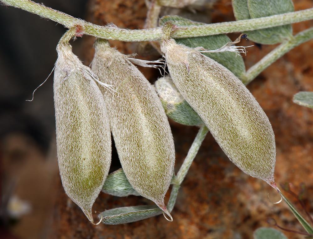 Astragalus mohavensis var. mohavensis